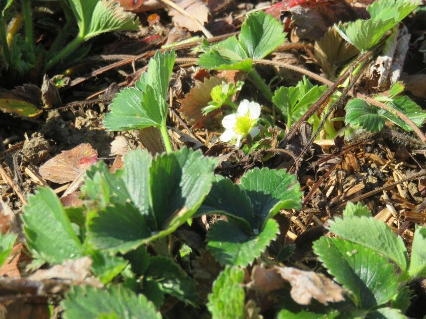 fraises (2)