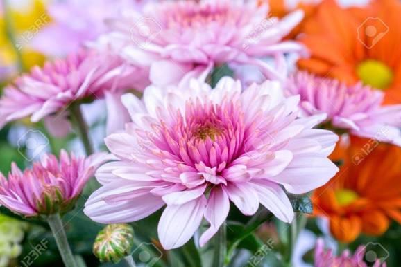 8614316-beauté-couleur-chrysanthème-fleurs-de-près.jpg